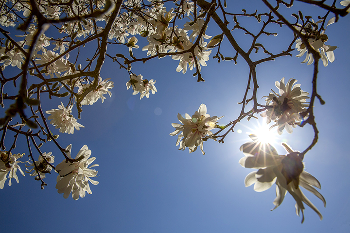 Flowers blooming on a tree with blue sky in the background and the sun shining through.