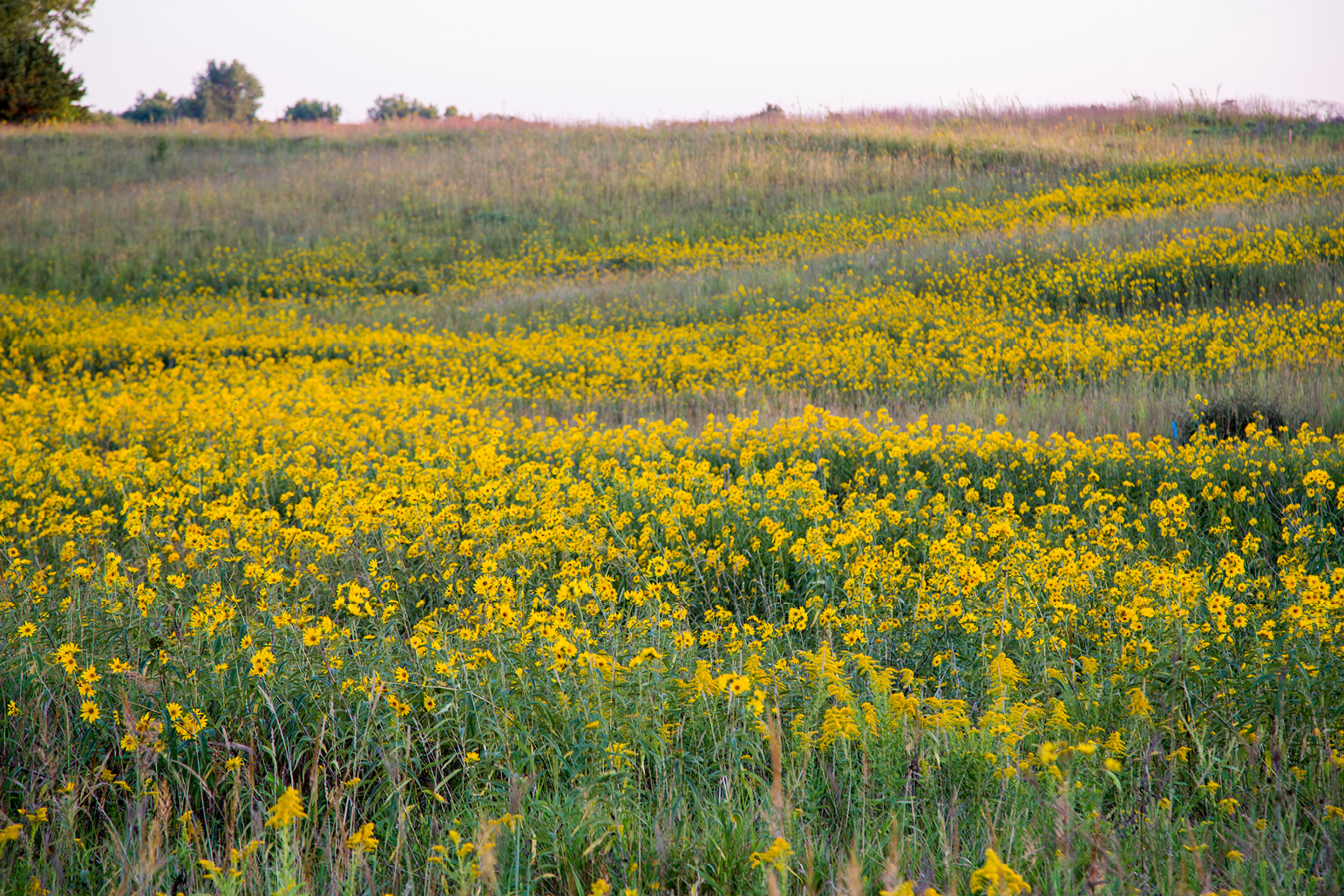 Yellow flowers in the prairie