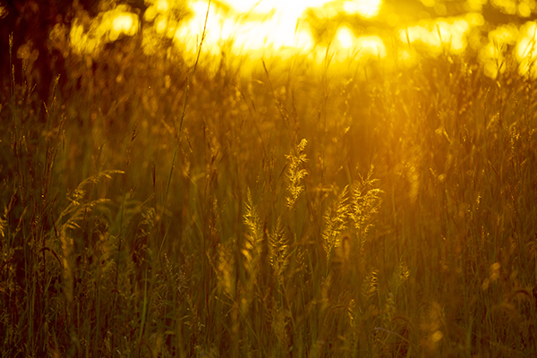 Sun low in the sky shining through the grasslands