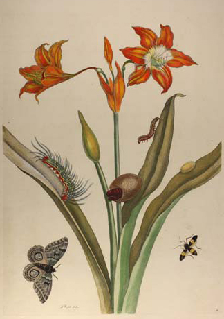 Red Lily with Moth, a colored engraving after Maria Sibylla Merian