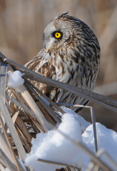 Owl perched on brown vegetation in a snowy field