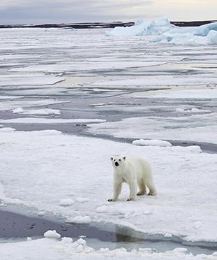 polar bear on ice flow