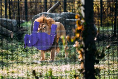 Lion hold purple papier mache elephant in mouth