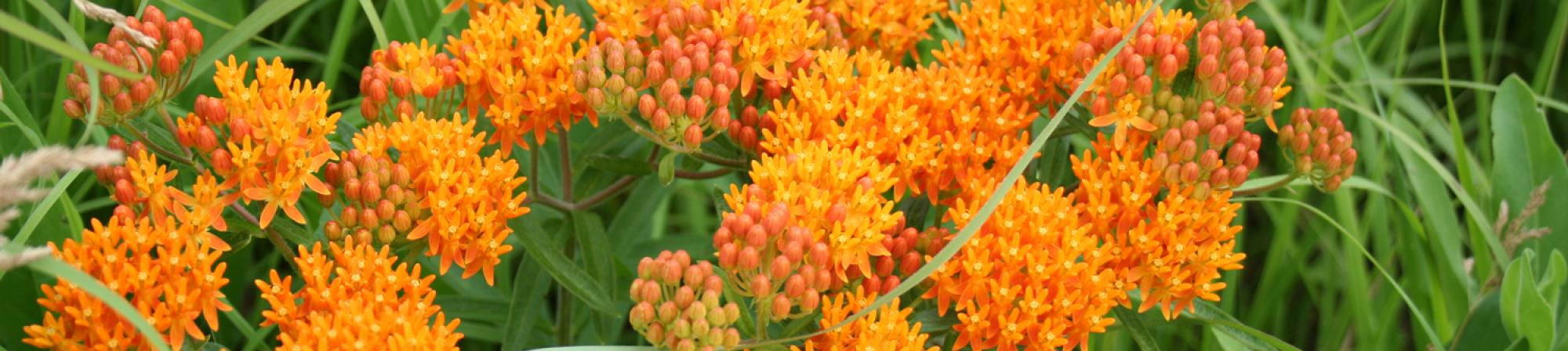 Close up of butterfly weed (tiny orange flowers and flower heads on green foliage)