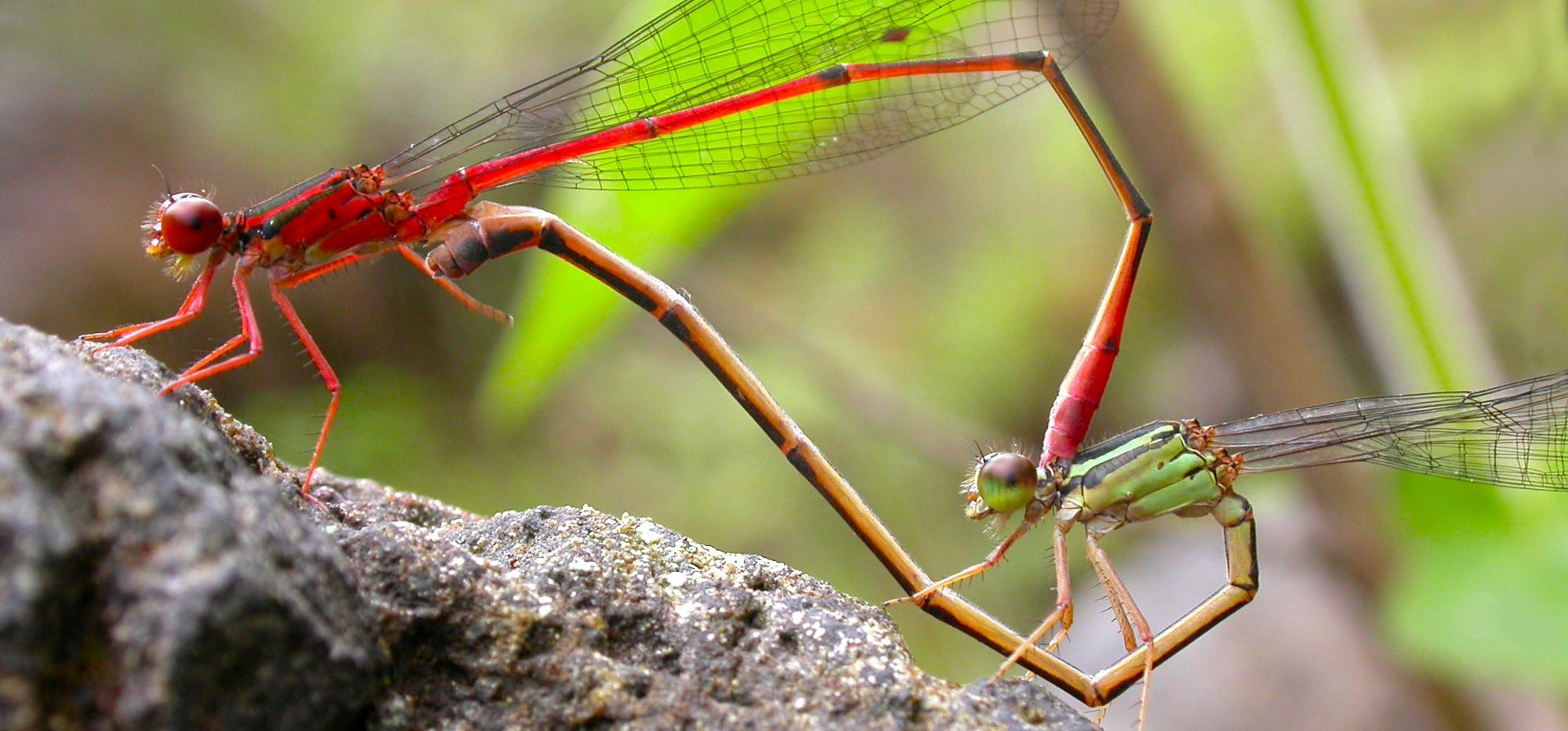 Damselflies mating, one red, the other drab