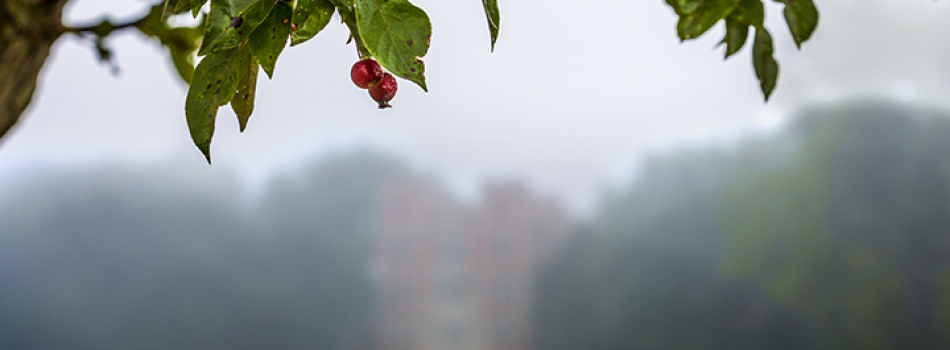 A foggy day looking through berries on a tree branch toward Rawson-Gates tower.