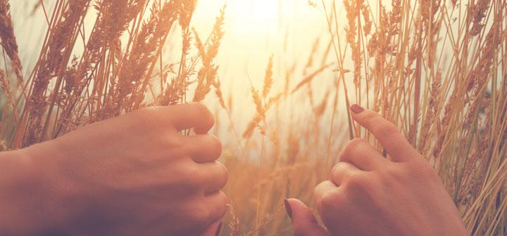 bucolic scene of hands spreading wheat stalks to open up view of the sun