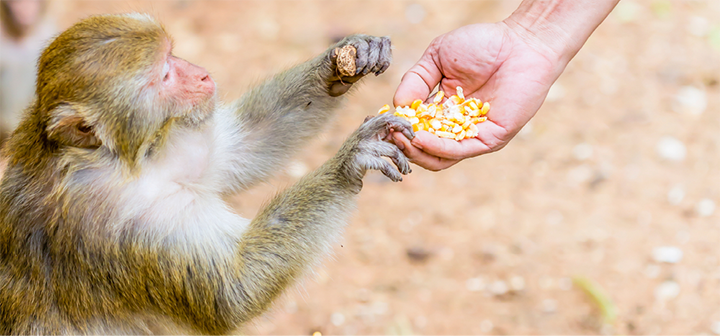 Monkey reaching for food in a human hand