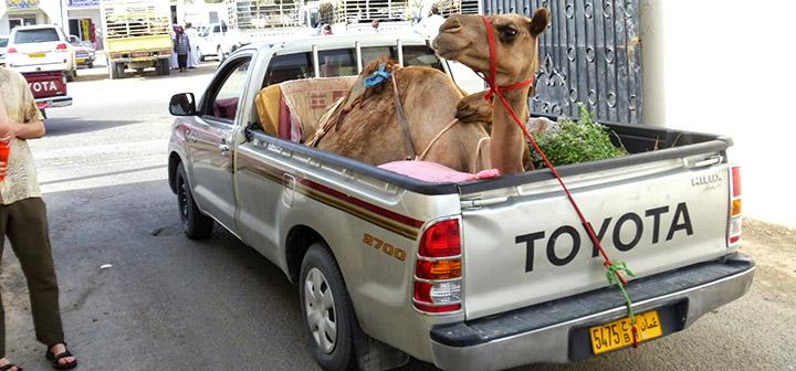 Camel in bed of pickup truck