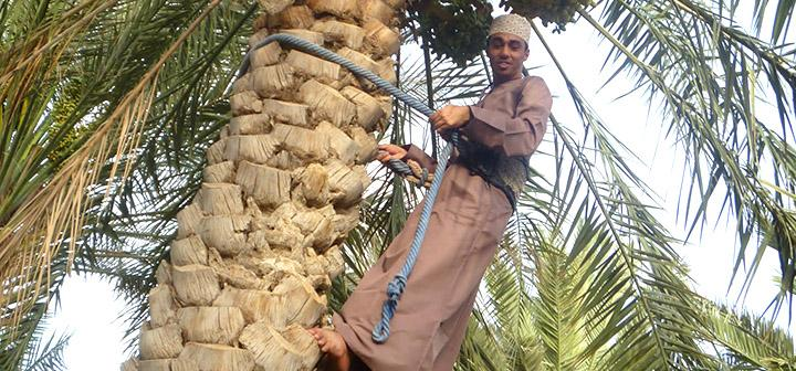 Man looking down near top of date palm