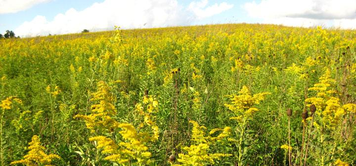 Prairie in bloom with yellow flowers