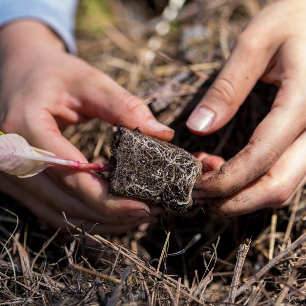 Close up view of student's hands planting a seedling in the college garden