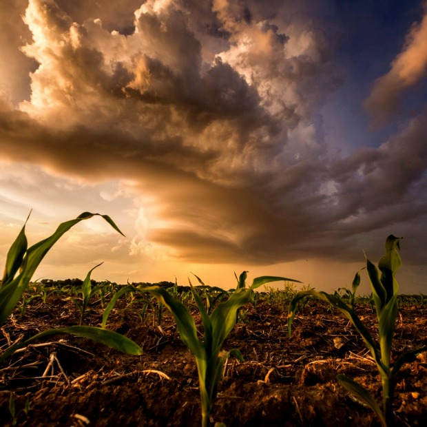 Corn plants sprout with large dark storm clouds overhead