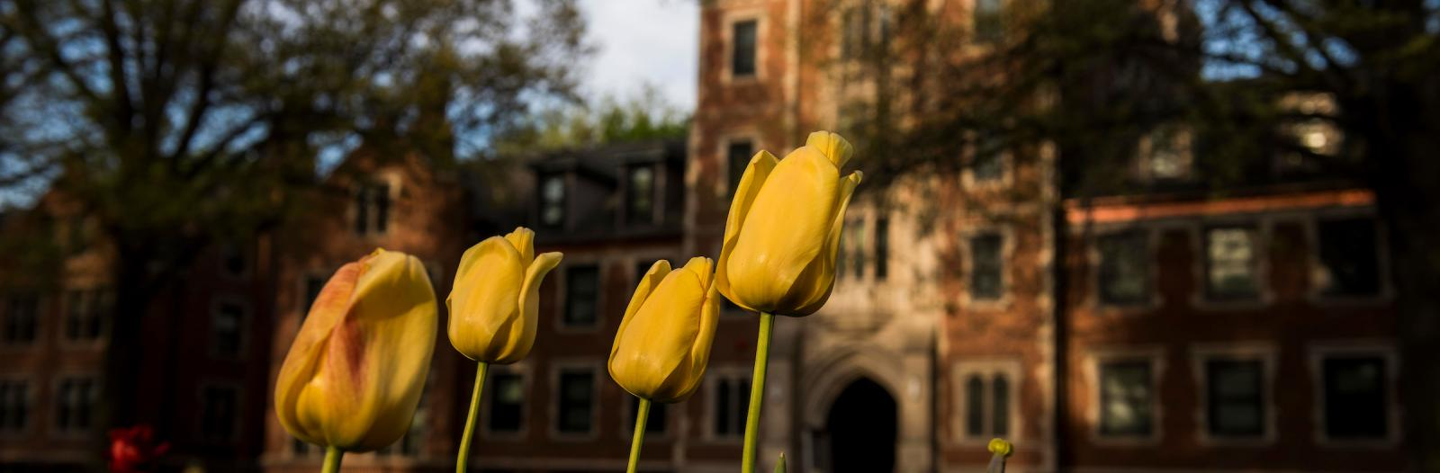 tulips in front of gates-rawson tower