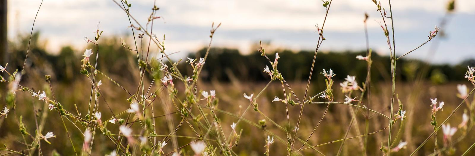 small pale pink prairie flowers