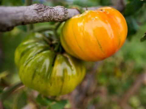 Tomato on the vine beginning to ripen