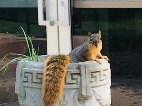 Squirrel in a planter near Forum