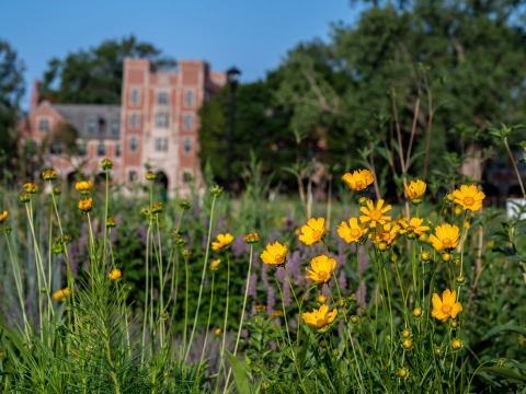 Yellow wildflowers blooming in a new prairie planting on North Campus