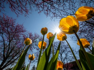 Yellow tulips as viewed from close to the ground against a sunny sky
