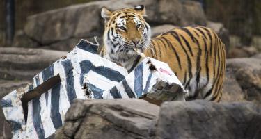 Tiger enjoying fake zebra-unicorn