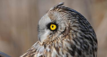 detail of the head of an owl