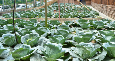 cabbages growing in an urban garden