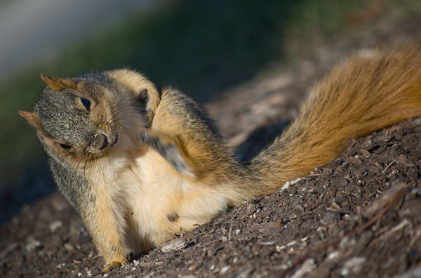 Squirrel uses hind foot to scratch its side