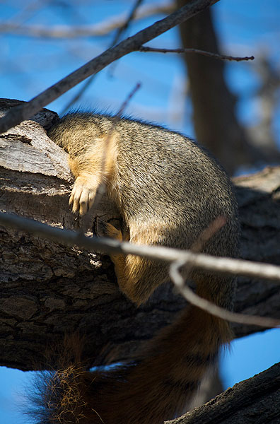 Squirrel perches, up to its shoulders in a hole in a branch