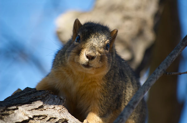 Close photo of a squirrel looking directly at the camera