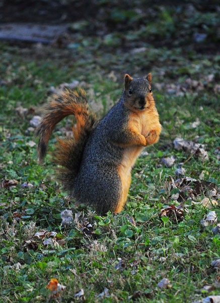 Squirrel on hind legs in a lawn
