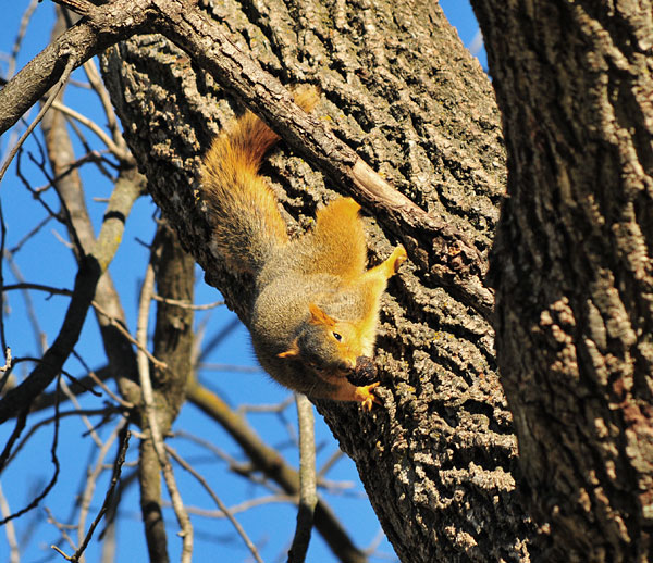 squirrel clings to the trunk of a tree with head down and tail up