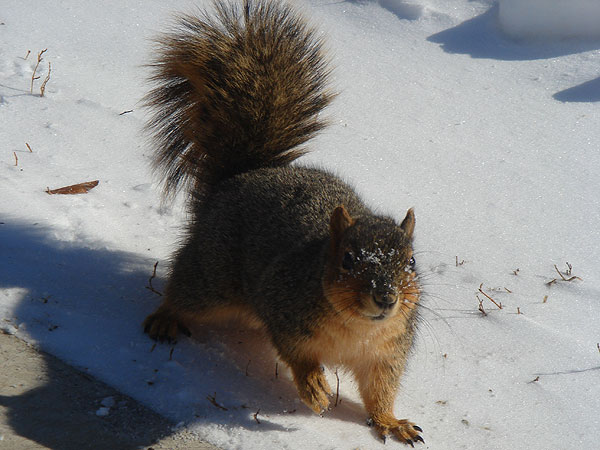 Squirrel with snow on it's face wanders in the snow next to a sidewalk