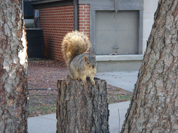 Squirrel perches on a stump, fluffed-up tail curled in a question-mark shape