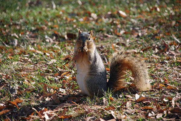 Squirrel with hands at mouth, looking beseechingly at the camera