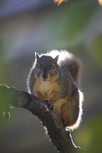 squirrel against a small branch, facing the camera