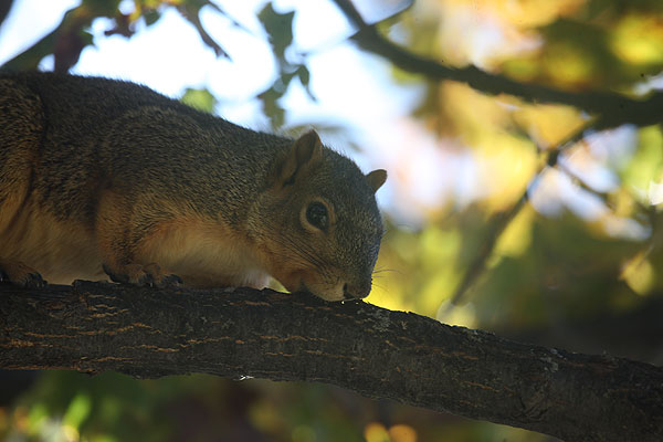 squirrel appearing to bitie the bark of a branch