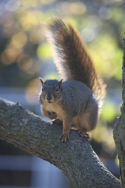 Squirrel on branch, facing camera, with three paws down, and one held against chest, tail bushy and upright