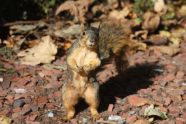 Squirrel standing fully erect, with tail held upright as well