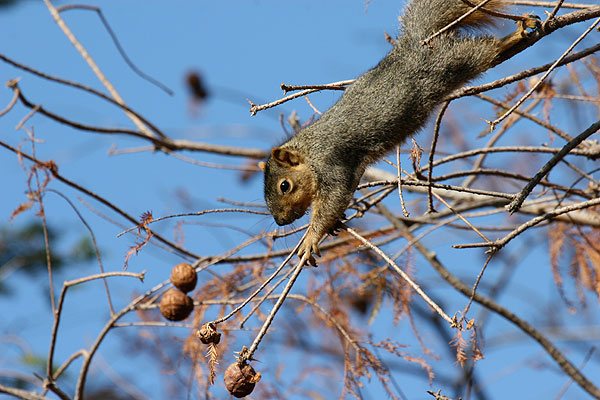 Squirrel anchored by a back foot climbs out towards a nut