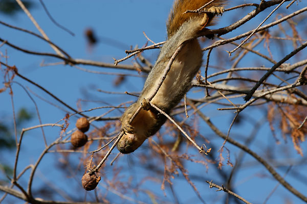 Squirrel anchored by a back foot gets close to a nut at the end of a branch