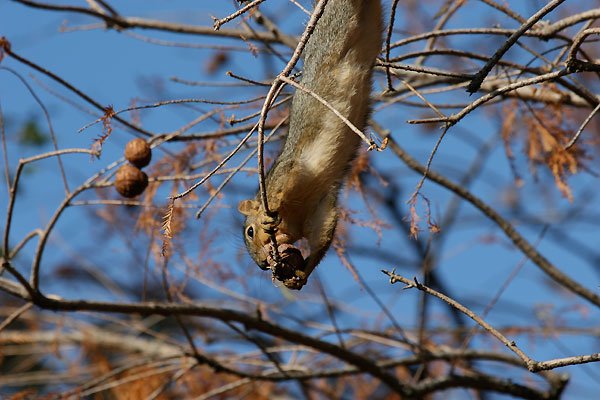 Squirrel reaches a nut at the end of a branch