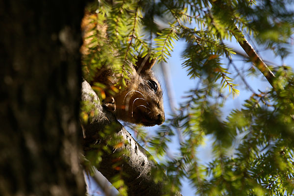 A squirrel peeks out over a leafy branch