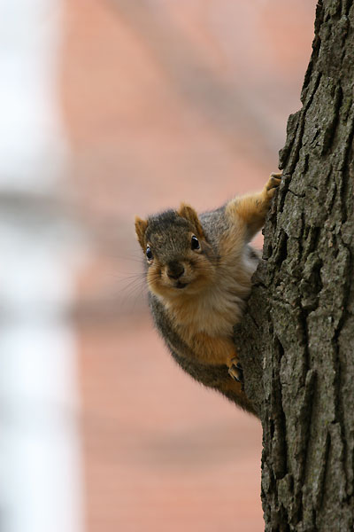 Belligerent squirrel faces off with the camera