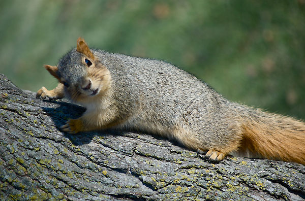 Squirrel pauses to glance over its shoulder to the photographer